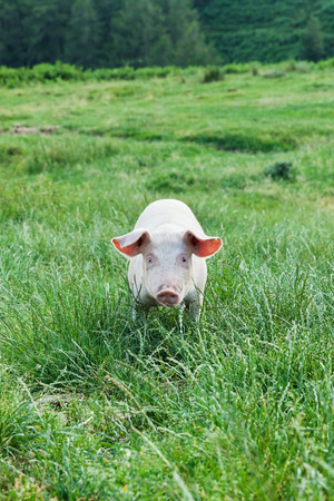 pig nose: pig on a spring green grass