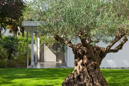 modern garden: sunny garden of a modern house with old olive tree