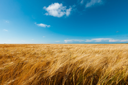 sunshine background: golden wheat field and blue sky