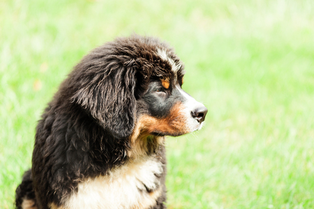 Portrait of a Bernese mountain dog, outdoor Stock Photo