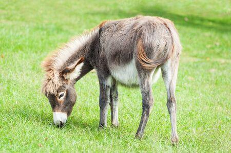 Small sweet donkey in a field Archivio Fotografico