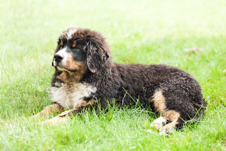 Portrait of a Bernese mountain dog, outdoor Archivio Fotografico