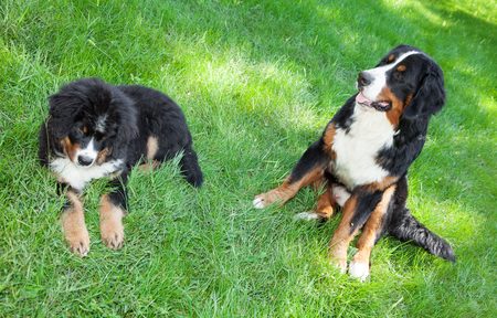 Portrait of two Bernese mountain dogs, outdoors Archivio Fotografico