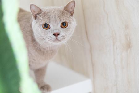 British shorthair cats at home