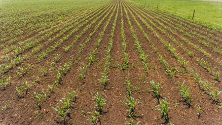 campo di giovani piantine di mais