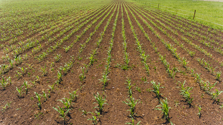 field of young seedlings of corn