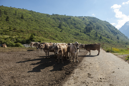 free grazing cows, sustainable breeding