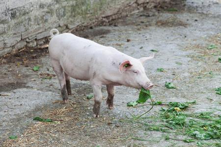 pig eating a green leaf