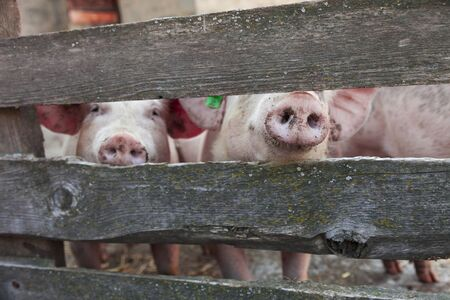 breeding pigs in the stable