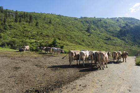 frei grasende Kühe, nachhaltige Zucht Standard-Bild