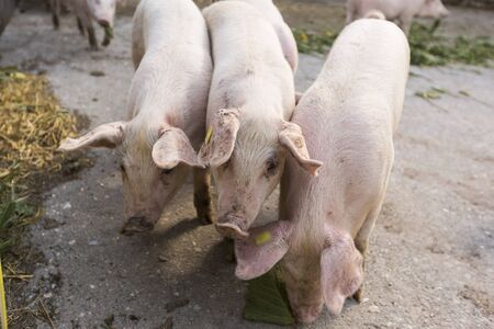 Group of pigs eating a green leaf