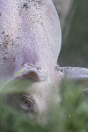 Pig detail with blur Archivio Fotografico