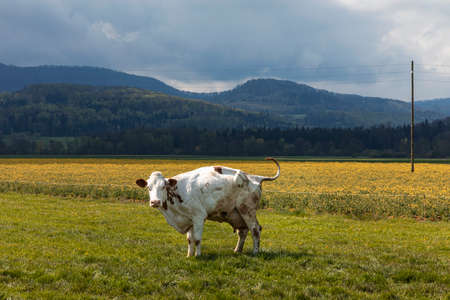 Isolated spotted cow in a green field of the Swiss Alps in the canton of Jura. Nature on a cloudy day. Nobody inside