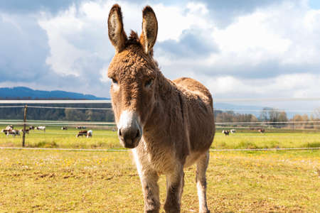 Donkey portrait on a farm in the Jura Canton in Swiss Alps. Green field and mountains in the background. Nobody inside