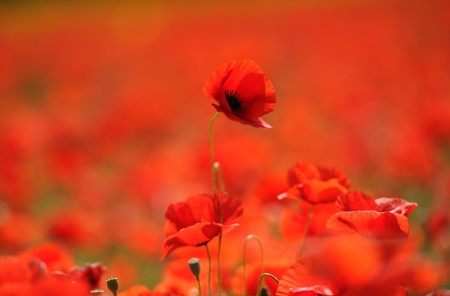 Red poppies in the field, Provence, France photo