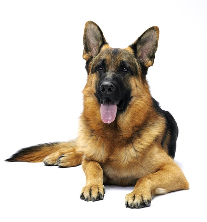 German shepherd lying in studio on white background Фото со стока