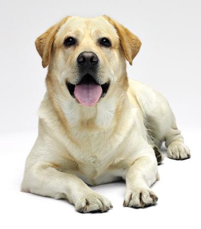 Labrador in studio on white background photo