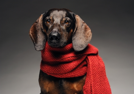 Close-up portrait of cute brown dachshund with red scarf  Stock Photo - 14282539