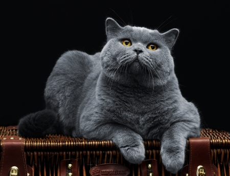 Big british cat lying on suitcase and looking at camera photo