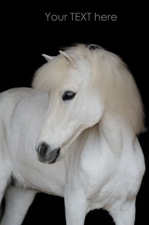 shetland pony: Portrait of the beautiful white shetland pony