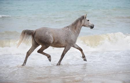 trotting: Grey Arabian horse trotting in the sea water Stock Photo