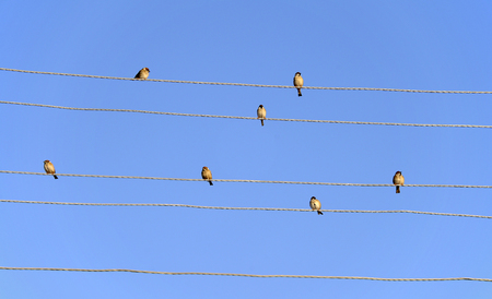 choral: Sparrows on power lines against a sky