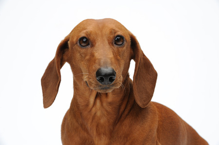 doxie: Portrait of the red dachshund Stock Photo