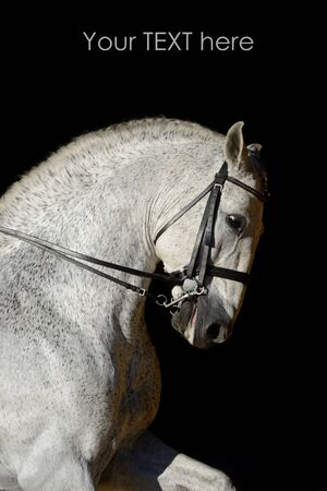horse andalusian horses: Portrait of the white sport horse