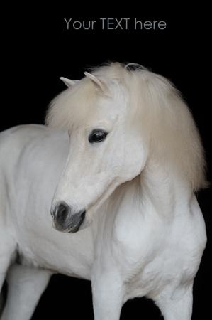 mini farm: Portrait of the beautiful white shetland pony