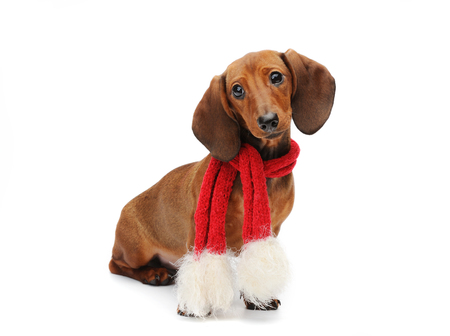 doxie: Dachshund puppy with a red christmas sacrf