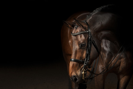 Portrait of a bay sport dressage horse Stok Fotoğraf