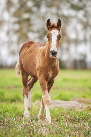 draught: Chestnut baby foal of draught horse Stock Photo