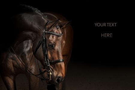 Portrait of a bay sport dressage horse Stock Photo