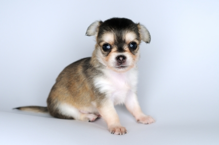 dog puppy brown chihuahua sitting against white background  photo