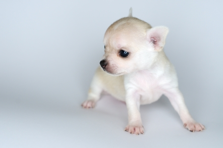 dog puppy white chihuahua against white background photo