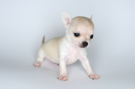dog puppy white chihuahua standing against white background photo