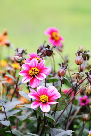 pink dahlia flowers and many buds in the background photo