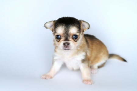 small dog puppy brown chihuahua is sitting  photo