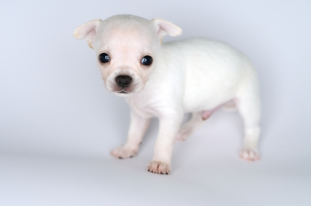 small dog puppy white chihuahua with great eyes photo
