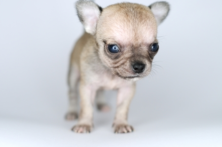 small dog puppy brown chihuahua closeup from the front  photo