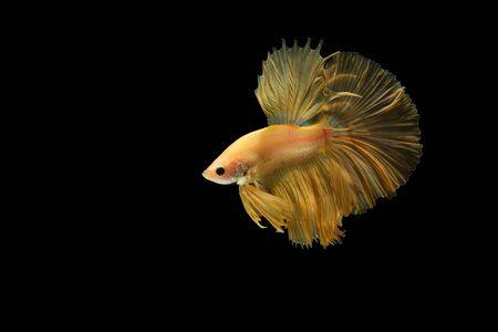 fighting fish: fighting fish Stock Photo