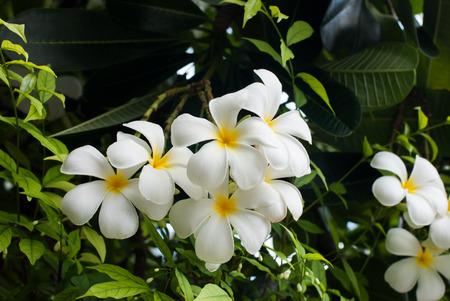 lading: Plumeria White