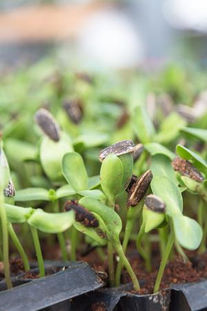 Sunflower seedlings are grown in pots, organic vegetables. Zdjęcie Seryjne