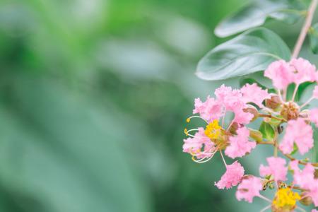 Beautiful pink flowers, Crape myrtle, Crape flower, Indian lilac (Yi-Kheng)