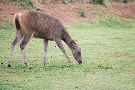 Deer graze in broad grass. Zdjęcie Seryjne