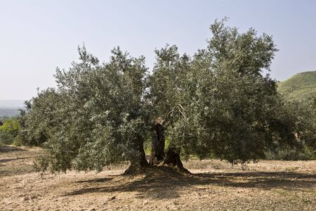 agricultura: Olive