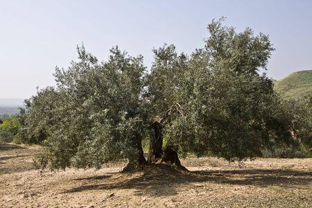 hojas: Olive