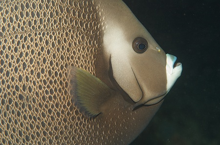 nekton: Close up Gray Angelfish, picture taken in south east Florida.