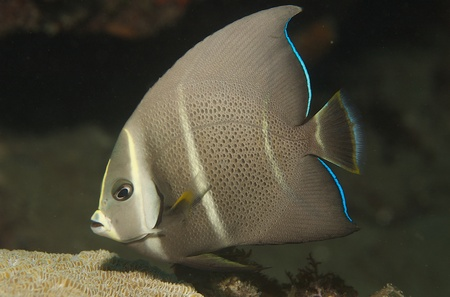 Juvenile Gray Angelfish, picture taken in south east Florida. Stock Photo - 12403337