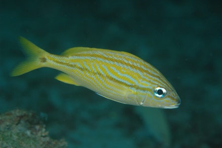 Juvenile French Angelfish, picture taken in south east Florida. Stock Photo - 12753433